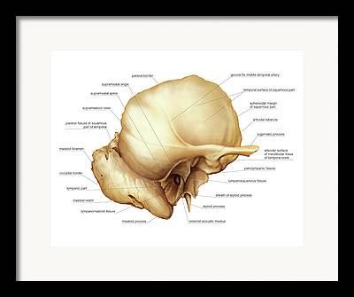 Temporal Bones Framed Prints
