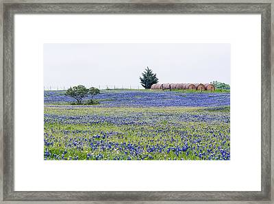 Texas Bluebonnets 5 Framed Print