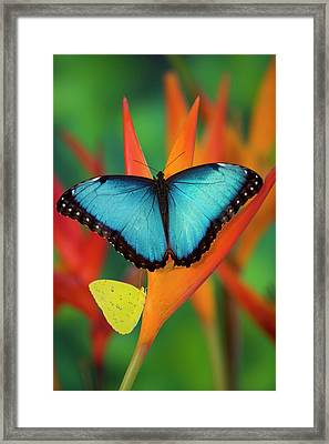 Tropical Butterfly The Blue Morpho Framed Print