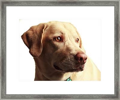Usa, Oregon, Keizer, Labrador Retriever Framed Print by Rick A Brown