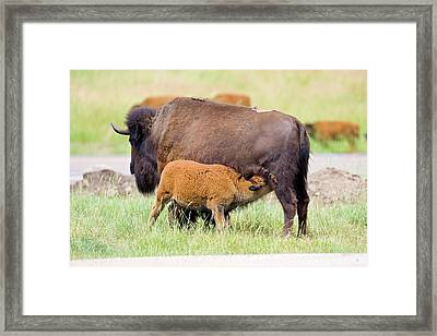 Usa, South Dakota, Custer State Park Framed Print