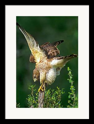 Buteo Lineatus Framed Prints