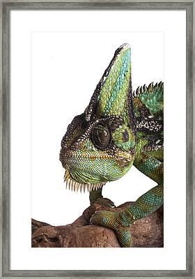 Veiled Chameleon Framed Print by Science Photo Library