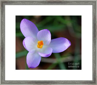 Vibrant Spring Crocus Framed Print