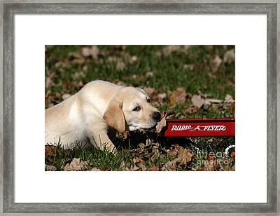 Yellow Labrador Puppy Framed Print by Linda Freshwaters Arndt