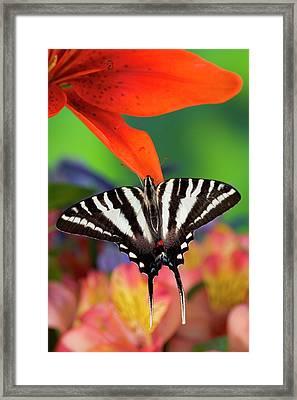 Zebra Swallowtail North American Framed Print