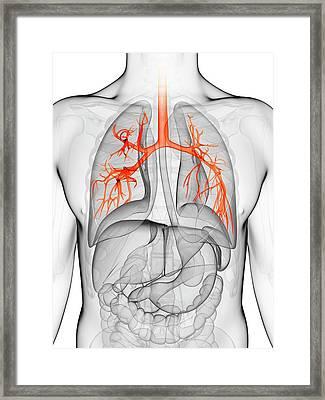 Human Lungs Framed Print by Sebastian Kaulitzki
