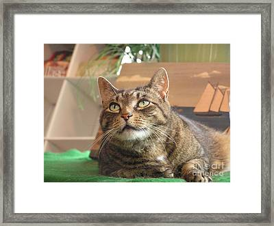 #764 D77 Tiger Cat Lu Looking Up Framed Print by Robin Lee Mccarthy Photography