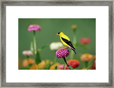 American Goldfinch (carduelis Tristis Framed Print