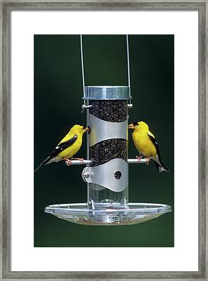 American Goldfinches (carduelis Tristis Framed Print by Richard and Susan Day
