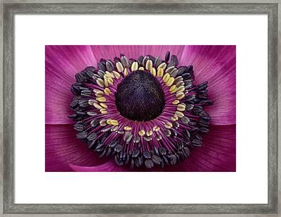 Anemone Framed Print by Mark Johnson