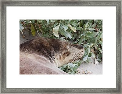 Australian Sea Lion (neophoca Cinerea Framed Print