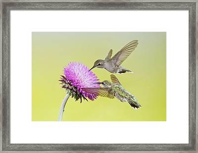 Black-chinned Hummingbird (archilochus Framed Print