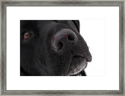 Black Labrador Framed Print by Linda Freshwaters Arndt