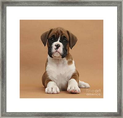 Boxer Puppy Framed Print