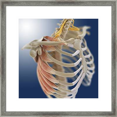 Chest Muscles, Artwork Framed Print by Science Photo Library