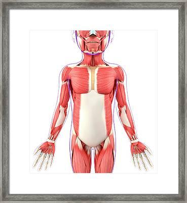 Child's Muscular System Framed Print by Pixologicstudio