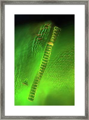 Desmid On Sphagnum Moss Framed Print by Marek Mis