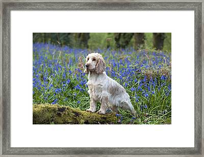 English Cocker Spaniel Framed Print by John Daniels