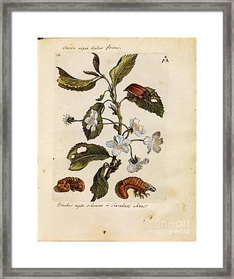 Erucarum Ortus Framed Print
