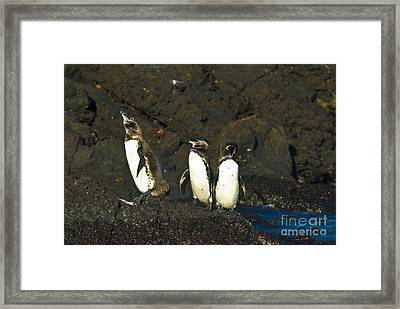 Galapagos Penguins Framed Print by William H. Mullins