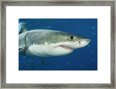 Great White Shark  Carcharodon Framed Print by Dave Fleetham