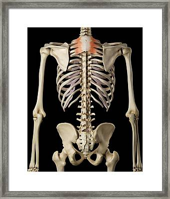 Human Back Muscles Framed Print by Sciepro