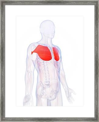 Human Chest Muscles Framed Print by Sebastian Kaulitzki
