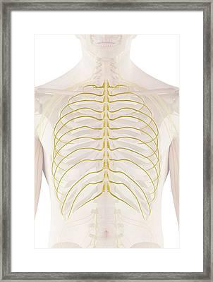 Human Nerves Framed Print