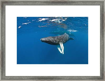 Humpback Whale Calf Framed Print by Andrew J. Martinez