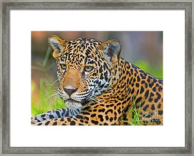 Jaguar Framed Print by Millard H. Sharp