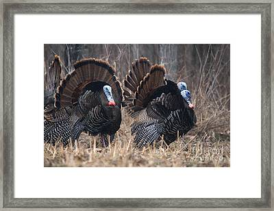 Jake Eastern Wild Turkeys Framed Print by Linda Freshwaters Arndt