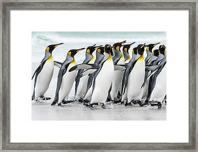 King Penguin (aptenodytes Patagonicus Framed Print