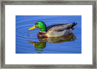 Mallard Duck Framed Print by Brian Stevens