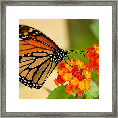 Monarch Butterfly Framed Print by Carol Toepke