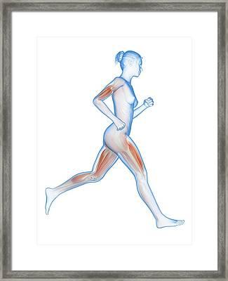 Muscular System Of A Runner Framed Print by Sebastian Kaulitzki