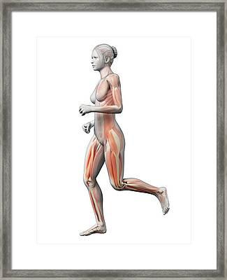 Muscular System Of Runner Framed Print by Sebastian Kaulitzki