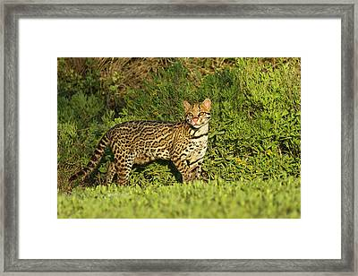 Ocelot (felis Pardalis Framed Print by Larry Ditto