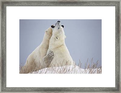 Polar Bears Play Fighting Along The Framed Print by Robert Postma