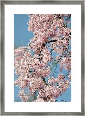 Prunus Subhirtella 'pendula' Framed Print by Maria Mosolova