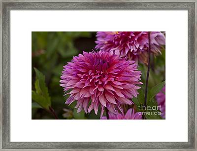 Purple Dahlia Framed Print