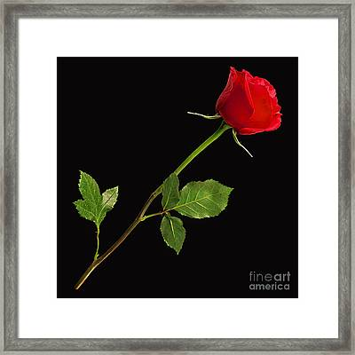 Rose Collection Framed Print