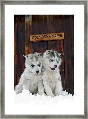 Siberian Husky Puppies Framed Print by Rolf Kopfle