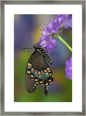 Spicebush Swallowtail Butterfly Framed Print