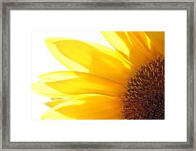 Sunflower  Framed Print by Cindi Ressler