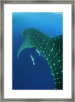 Whale Shark, Cenderawasih Bay, West Framed Print