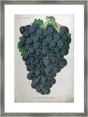 Wine Grapes, Vine, Agriculture, Fruit, Food And Drink Framed Print