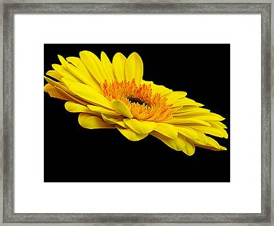 Framed Print featuring the photograph Yellow Gerber by Elvira Ladocki
