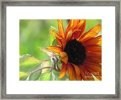 Sunflowers  Framed Print by France Laliberte