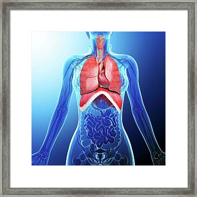 Human Respiratory System Framed Print